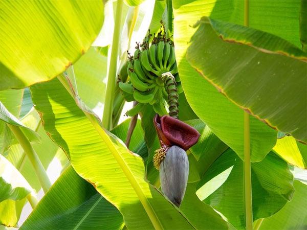 ไม้มงคล-ต้นกล้วย