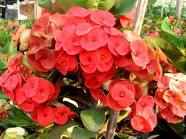 ดอกไม้มงคล-โป๊ยเซียน