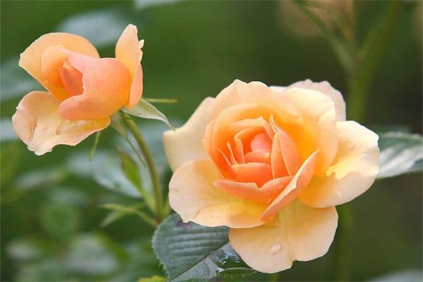 ดอกไม้มงคล-ดอกกุหลาบ