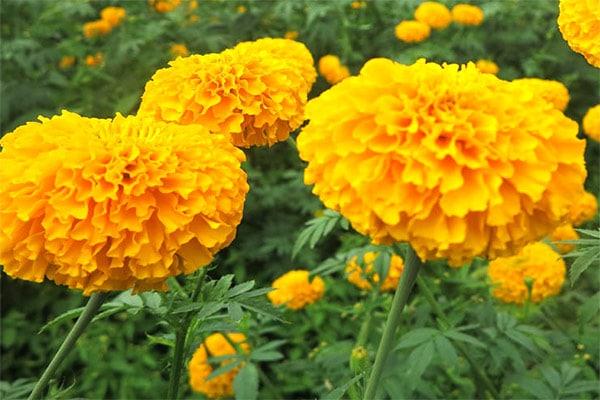 ดอกไม้มงคล-ดอกดาวเรือง